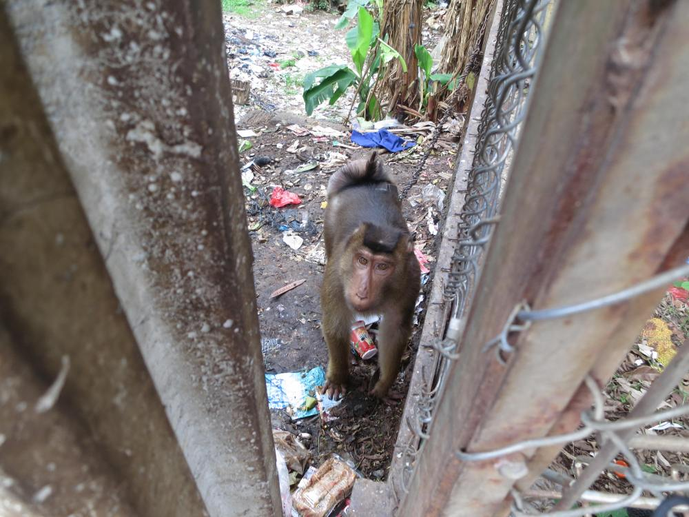This monkey was kept on a dog chain.  Te locals threw their trash over the wall and the monkey ate it.  This pissed me off.  We called the Monkey rescue people.  Hopefully they rescued him.